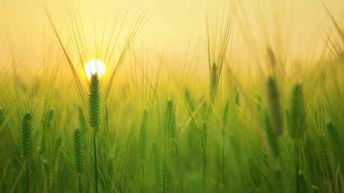 Adaptation and Breeding in Cereal Crops